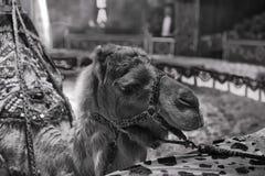 马戏骆驼 免版税库存照片