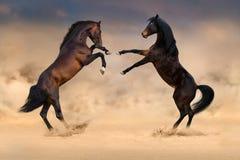 马战斗在沙漠 免版税库存照片