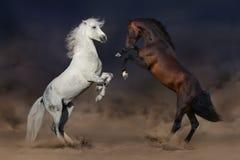 马战斗在沙漠 免版税库存图片