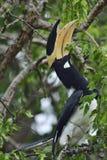 马拉巴尔染色犀鸟,亦称一点染色犀鸟 库存图片
