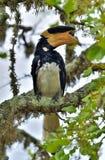 马拉巴尔染色犀鸟,亦称一点染色犀鸟 免版税库存照片