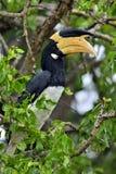 马拉巴尔染色犀鸟Anthracoceros coronatus 免版税库存图片