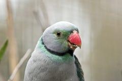 马拉巴尔长尾小鹦鹉 免版税库存照片