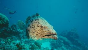 马拉巴海里石斑鱼的鱼,巴布亚Niugini,印度尼西亚 库存照片