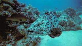 马拉巴海里石斑鱼的鱼,巴布亚Niugini,印度尼西亚 图库摄影