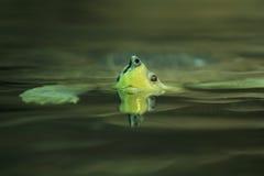 马拉开波木头乌龟 免版税库存照片