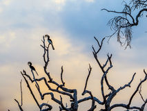 马拉巴尔染色犀鸟(Anthracoceros coronatus) 库存图片