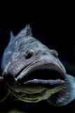 马拉巴尔石斑鱼鱼,开放的嘴 免版税库存照片