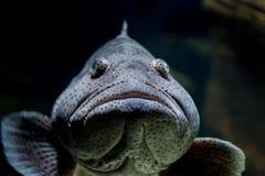 马拉巴尔石斑鱼鱼,装腔作势地说闭合 图库摄影