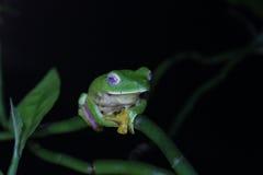 马拉巴尔滑动的青蛙 库存照片