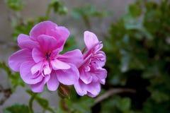马掌天竺葵花在庭院里 免版税库存照片