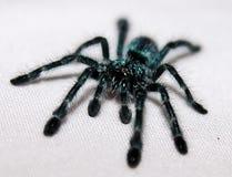 马提尼克岛桃红色脚趾塔兰图拉毒蛛Spiderling 免版税库存图片