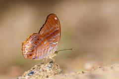 马来亚亚述人蝴蝶(Terinos clarissa malayana) 库存图片