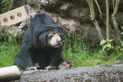 马来亚太阳熊在动物园里 免版税库存图片