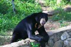 马来亚太阳熊,蜂蜜熊 库存图片