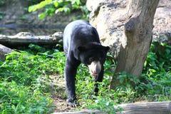 马来亚太阳熊,蜂蜜熊 免版税库存图片