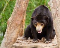 马来亚太阳熊 库存图片