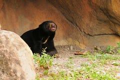 马来亚星期日熊 库存照片