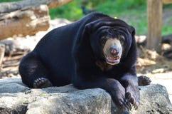 马来亚星期日熊 库存图片