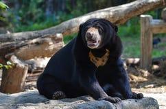 马来亚星期日熊(helarctos malayanus) 免版税库存图片