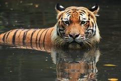 马来亚老虎 库存图片