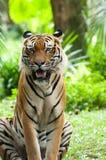马来亚老虎 免版税库存照片