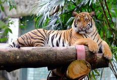 马来亚老虎 图库摄影