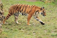 马来亚老虎 免版税库存图片