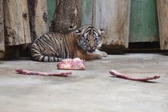马来亚虎犊 库存照片