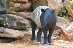 马来亚貘动物 免版税库存照片
