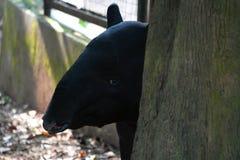 马来亚貘动物 免版税图库摄影