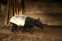 马来亚貘 免版税库存照片