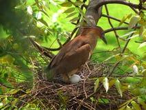 马来的夜鹭属孵化 库存图片
