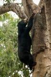 马来的熊 库存照片