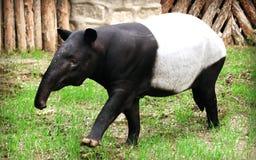 马来的貘或亚洲貘 库存照片