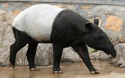 马来的貘或亚洲貘 免版税库存图片