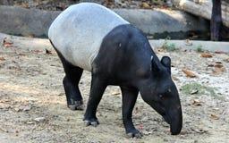 马来的貘或亚洲貘 库存图片