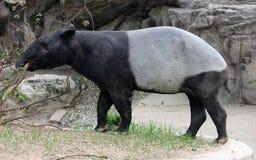 马来的貘或亚洲貘 免版税图库摄影