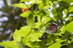 马来的Lacewing 免版税库存图片