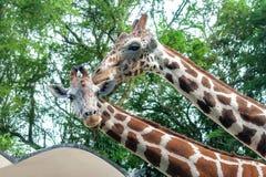 马来西亚全国动物园,吉隆坡 一个对长颈鹿 免版税库存照片