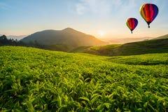 马来西亚喀麦隆高地的茶园与热空气气球 库存图片