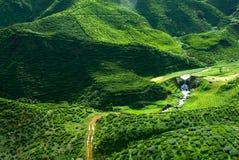 马来西亚种植园茶 免版税图库摄影