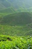 马来西亚种植园茶 图库摄影