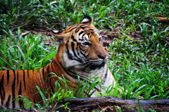 马来西亚老虎在婆罗洲 图库摄影