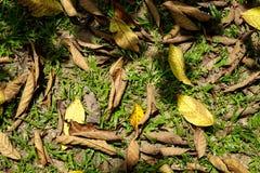 马来西亚草草坪背景特写镜头顶视图与树荫的 图库摄影