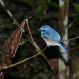 马来西亚蓝色栖息 库存照片