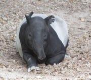 马来西亚貘休息 免版税图库摄影