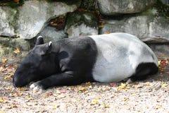 马来西亚tapi (貘类动物indicus) 图库摄影