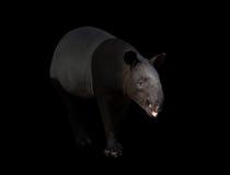 马来貘或亚洲貘在黑暗 免版税库存图片