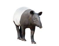 马来貘或被隔绝的亚洲貘 免版税库存照片